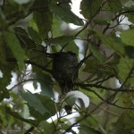 Fantail-nest